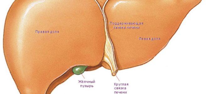 Функции клеток печени