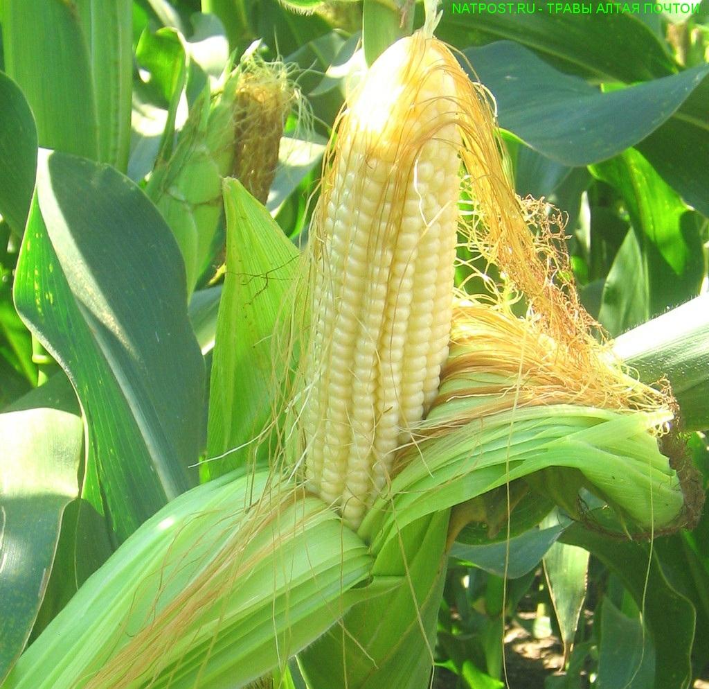 При каких заболеваниях надо употреблять кукурузы столбики с рыльцами