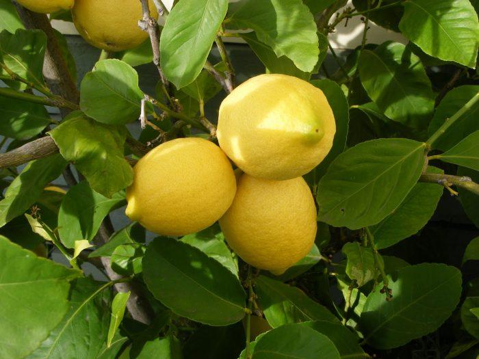 Лимон желчегонный или нет