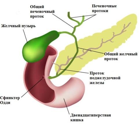 Описторхоз: симптомы и схема лечения у взрослых